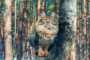 Siberian cat sitting on a birch tree in the forest