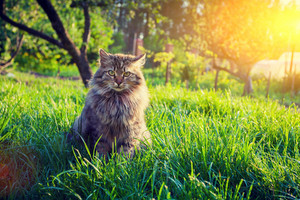 Cute siberian cat relaxing on the grass