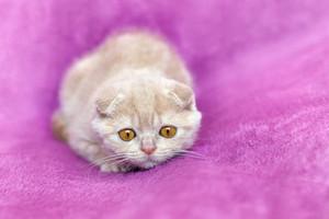 Red little kitten on a purple blanket