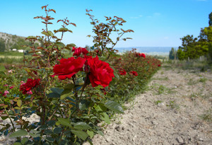 Rosebush in the rose plantation