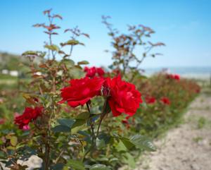 Rosebush in the rose plantation