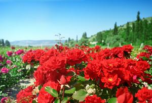 Rose plantation