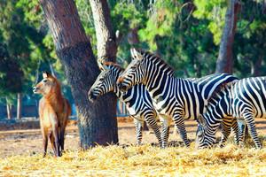 Walking zebras in the national park