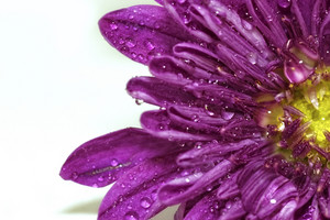 Water Drops On Flower Background
