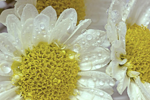 Water Drops White Flowers