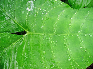 Water_drops_on_leaf_texture