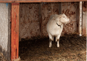 Wet Goat In Rain