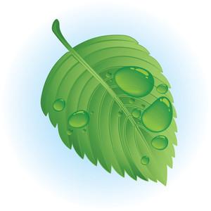 Wet Leaf. Vector.