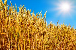 Wheat field against blue sky with sun