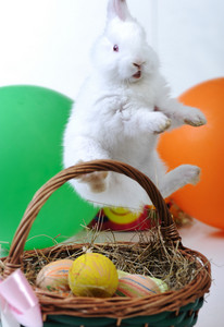 White beautiful rabbit, Easter bunny with eggs in basket, hanging up :)
