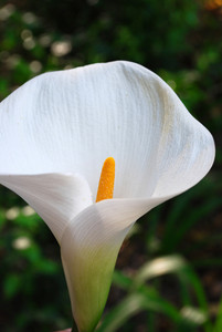White Calla On A Botanic Garden