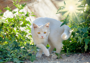 White cat is walking in the garden