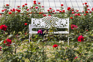 White chairs on red rose gardens