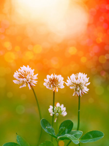 White clover flowers at sunset