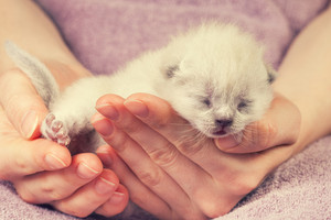 White newborn kittens in female hands