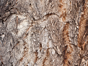 White Pine Bark Horizontal Wood