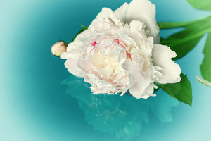 White rose in a water