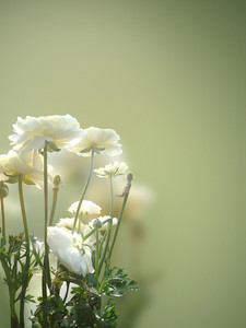 White Rosed On Blurred Background