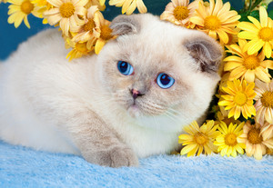 White scottish fold cat with yellow flowers