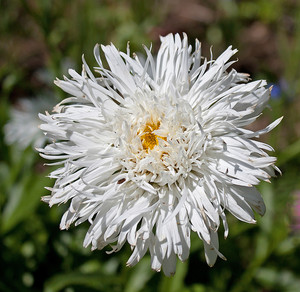 White Shaggy Shasta Daisy Flower