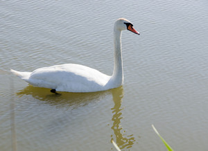 White Swan Swimming On The Pond