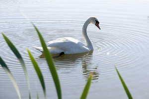 White Swan Swimming
