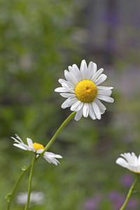 White Wild Daisy