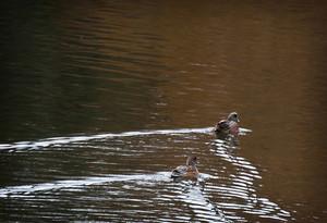 Widgeon Ducks