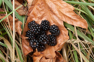Wild Blackberries On Leaf