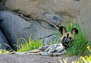 Wild Dogs Zoo
