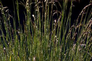 Wild Grasses