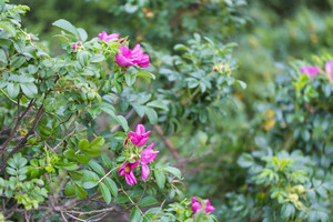 Wild rose bushes with flowers and fruits photographed in summertime forest. Close up of wild rose branches