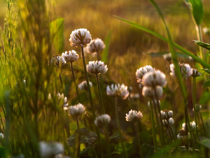 Wild white clover blooming. Plant close up