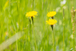 Wild yellow springtime flowers. Nature close up of blooming dandelions