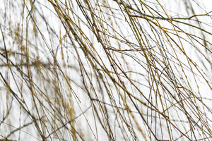 Willow branches at springtime without leaves at bad weather
