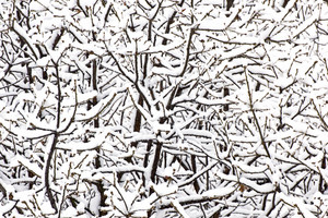 Winter Background - Snow On Tree Branches