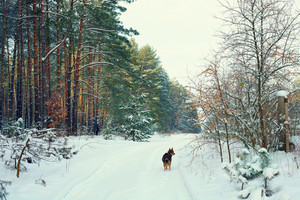 Winter forest with dog walking on the snow in background