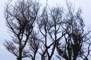 Winter Tree Branches 233