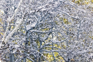 Winter Trees Background 235