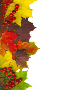 With Clipping Path. Framework From Autumn Multicoloured Maple Leaves