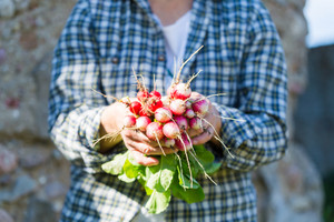 Woman hands with just picked radish. Natural ecologic garden vegetables.