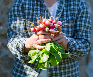 Woman hands with just picked radish. Natural ecologic garden wegetables.