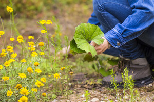 Woman picking clotsfoot leaves for drying (Coltsfoot is natural herb using in homeopathy ).
