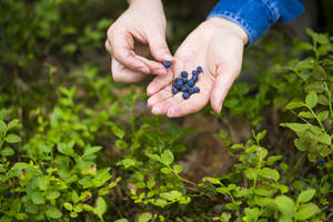 Women hands picking wild blueberries. Hand with blueberries.