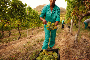 Women harvesting grapes in vineyard, Farmer putting bunch of grapes into a plastic crate in farm.