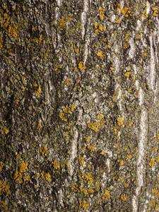 Wood Bark 10 Texture