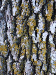 Wood Bark 12 Texture
