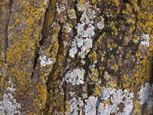Wood Bark 31 Texture