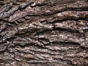 Wood Bark 39 Texture