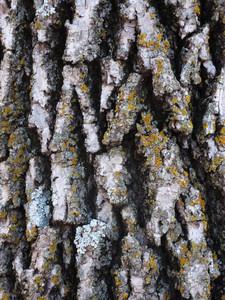 Wood Bark 9 Texture